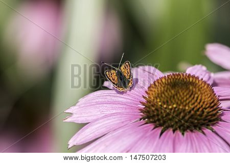 Soft image of a small copper butterfly on an Echinacea flower. Pretty garden wildlife.