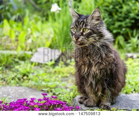 Maine coon cat sitting in the garden with slipped out tongue.