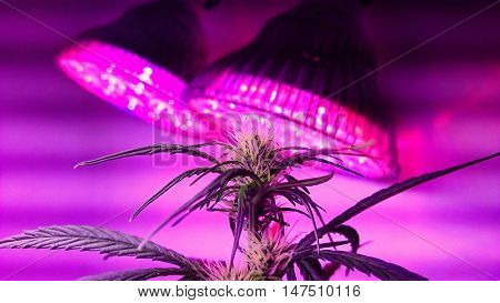 Cannabis female plant under violet LED lighting.