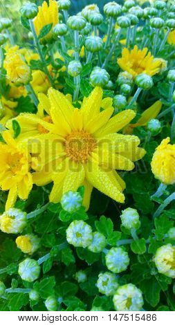 Dark yellow dew covered Mum blooms and flowers