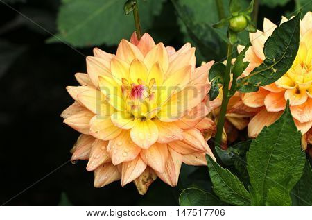 Beautiful yellow dahlia flower with green leaves.