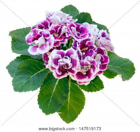 Gloxinia Plant  Isolated On White