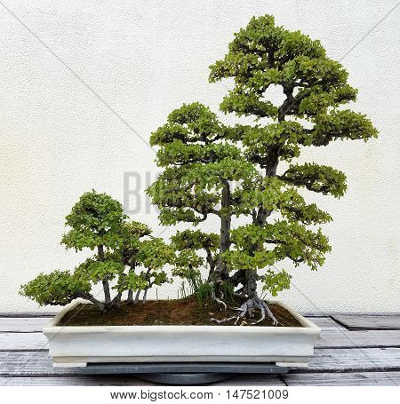 Bonsai miniature landscape with trees in a tray