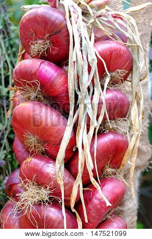 Bundle of dried red onion. Photo bunch of red onions