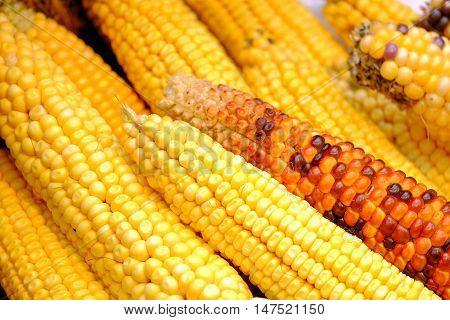 Beautiful corn cobs close-up. Photo of yellow corn cobs