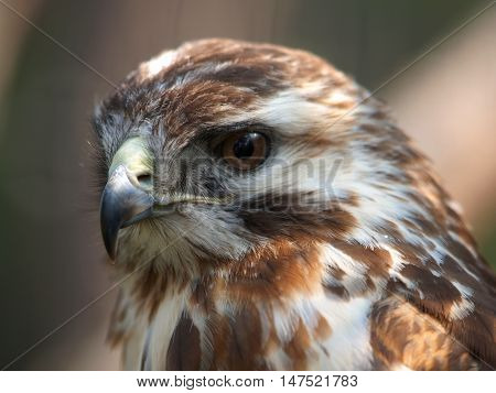 Portrait of eurasian buzzard - Buteo buteo