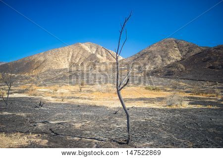Tall Skinny Burned Tree