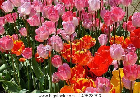 Shixianghu China - March 27 2011: Colourful tulips at peak bloom dazzle at the annual Stone Elephant Lake Park Tulip Festival