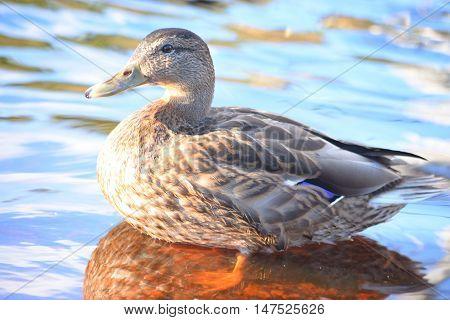 The photo of single female Mallard Duck close up.