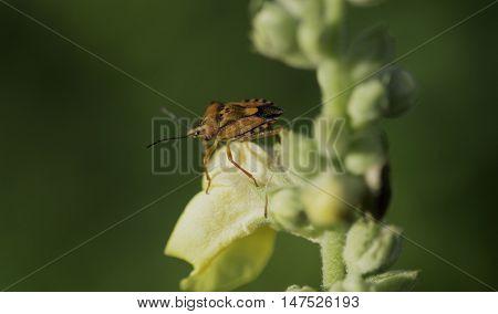 Red shield bug on green Plant  -  Carpocoris mediterraneus (Tamanini, 1959)