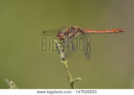 Common Darter (Sympetrum striolatum) male resting on a Branch
