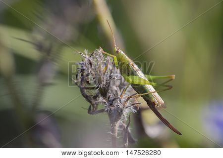 Long-winged Conehead (Conocephalus discolor) female resting on top of a plant