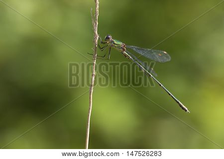 Western Willow Spreadwing (Lestes viridis) resting on a Grass-Stalk