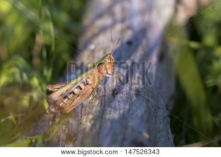 Bow-winged Grasshopper (Chorthippus biguttulus) resting on a log on the ground