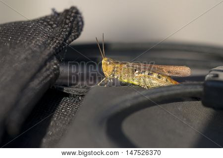 Common Field Grasshopper (Chorthippus brunneus) resting on the Back of my Camera Bag