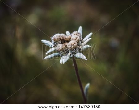 Close-up leontopodium edelweiss flower in asia mountains Tian Shan