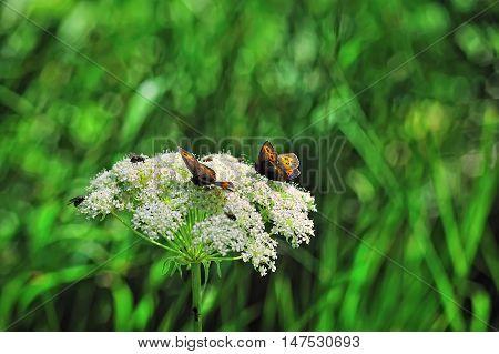 alpine orange butterflies on white Daucus flowers