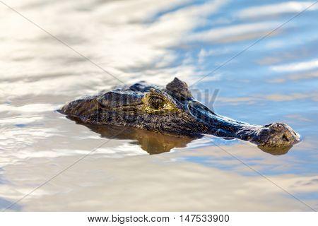 Wild caiman in Pantanal, Brazil