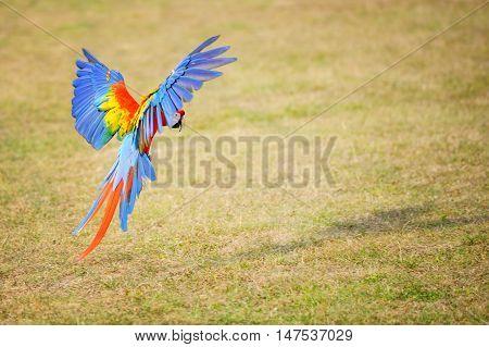 Flying Scarlet Macaw - Ara Macao