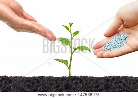 Hands watering and giving fertilizer to a young green plant isolated