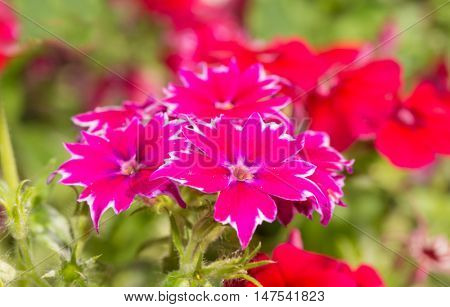 Hot pink and white Star Phlox flower in sunny summer garden