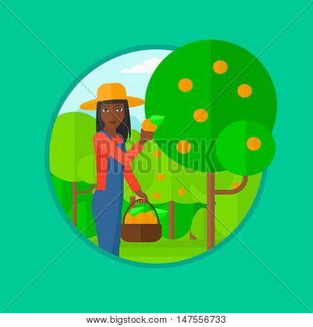 An african-american woman holding a basket full of oranges. Young gardener harvesting oranges. Female farmer collecting oranges. Vector flat design illustration in the circle isolated on background.