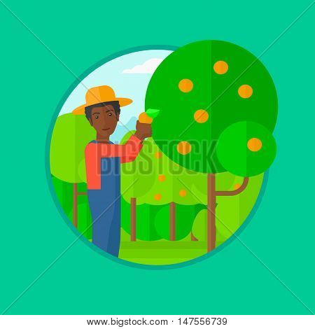 African-american man harvesting oranges. Gardener holding an orange on the background of orange trees. Farmer collecting oranges. Vector flat design illustration in the circle isolated on background.