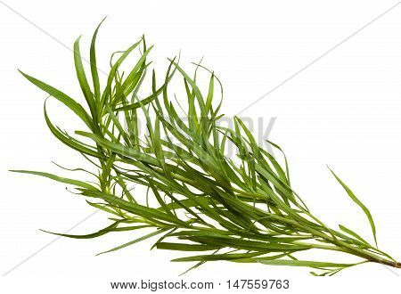 Fresh tarragon twigs isolated on white background