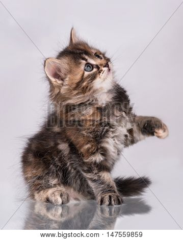 Cute little siberian kitten over grey background