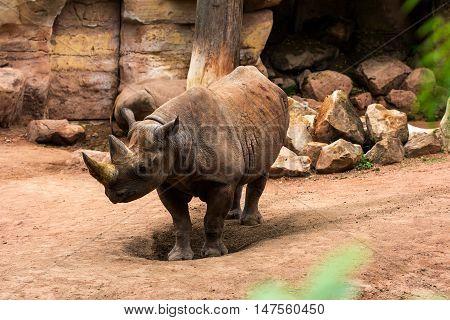 Close up profile portrait of the big rhinoceros. Animal scene.