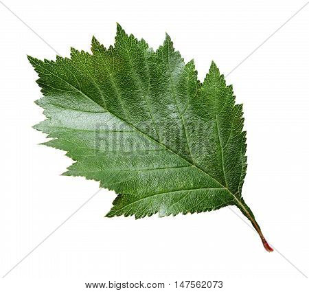 Closeup of green hawthorn leaf isolated on white