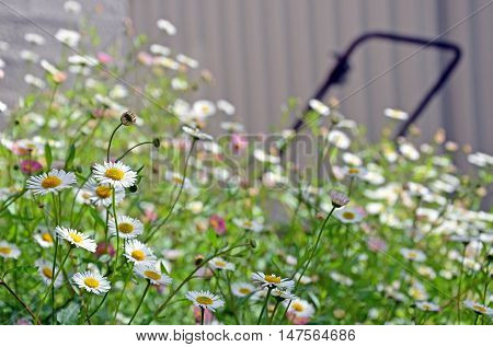 White and pink Seaside daisies in overgrown spring garden with lawn mower in background. Relaxed lifestyle, weekend gardening concepts. Left foreground focus, background blurred.