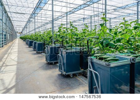 Filled harvest carts in the gangway of a Dutch glasshouse horticultural industry specialized in organic cucumber cultivation.