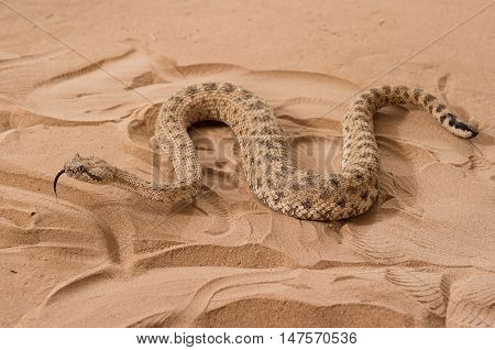 Save Download Preview Eryx jaculus - Javelin sand boa is a species of snake in the Boidae family.