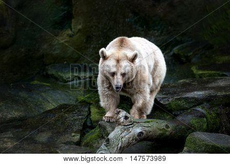 Polar bear walking on the rocks with dark background