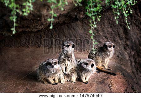 Portrait of family  watchful Meerkats in the rock