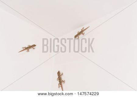 3 Geckos small lizard on a white wall.