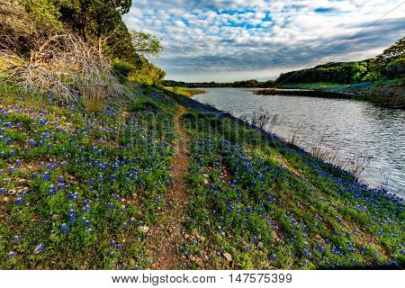 Beautiful Famous Texas Bluebonnet (Lupinus texensis) Wildflowers at Muleshoe Bend with Lake Travis in Texas, with a Dirt Trail.