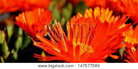 Close up of orange flowers they look like fire