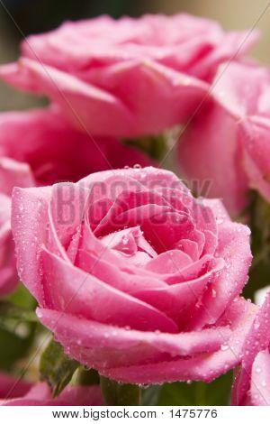 Pink Rose Close-Up 6