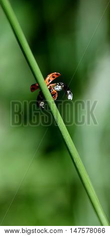 Close up of a small Ladybird beetle on grass