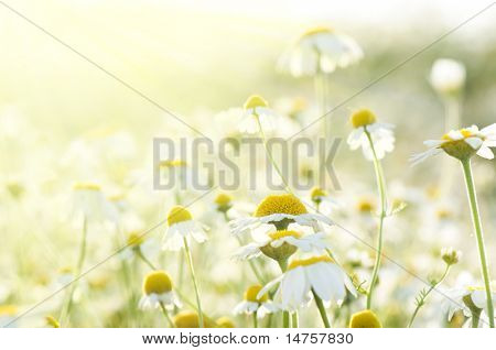 flower background with sun rays