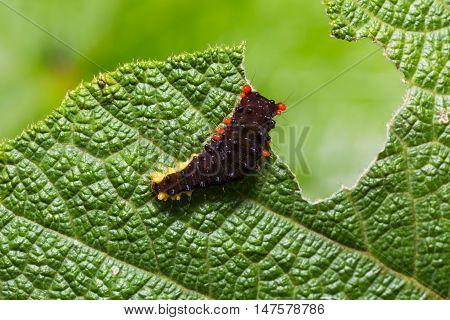 Trypanophora Hyalina Moth Caterpillar