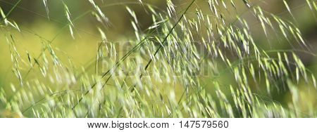 Close up of blooming grass in morning sunlight