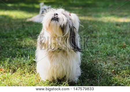 Shih tzu dog on grass. Outdoor photography.