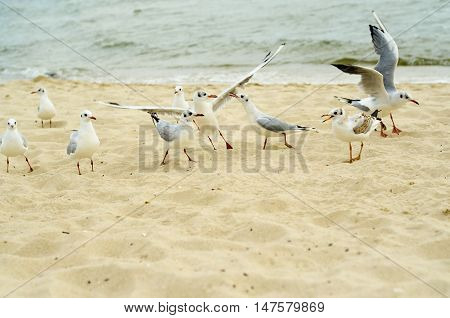 Seagulls are fighting for a piece of bread on the coast. Black Sea.