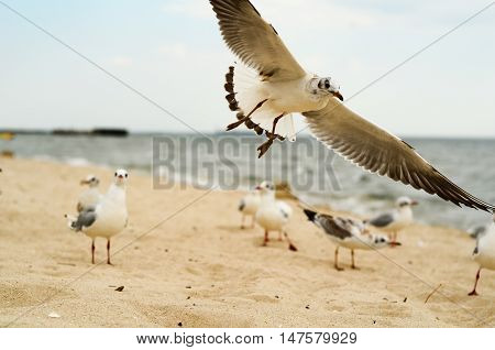 Seagull landing on the sand. Black Sea.