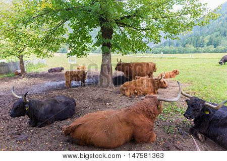 Heard of red haired Scottish highlander cows lying and resting in shade of tree.