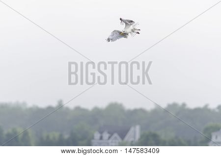 Observant Herring Gull wheeling toward something interesting