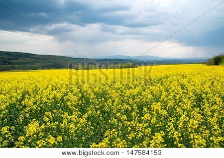 Field of flowering rapeseed. Agricultural field with blossoming colza.